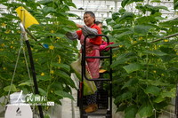 2021年9月16日,工作人员在种植车间内乘轨道升降车对蔬菜进行日常管理。