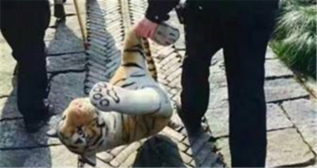 浙江市民报警有老虎 特警带枪抓到它