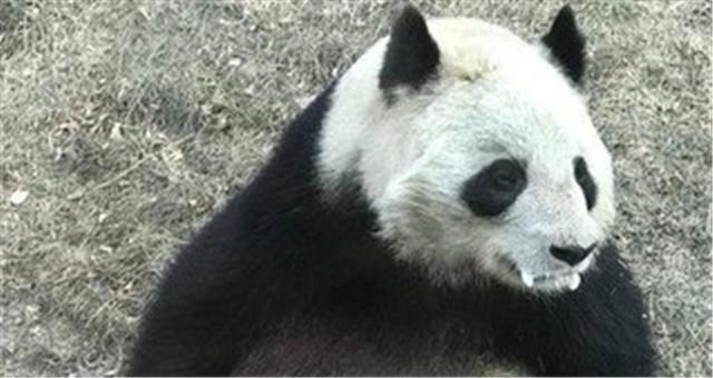 兰州动物园熊猫口吐白沫 官方:属正常现象