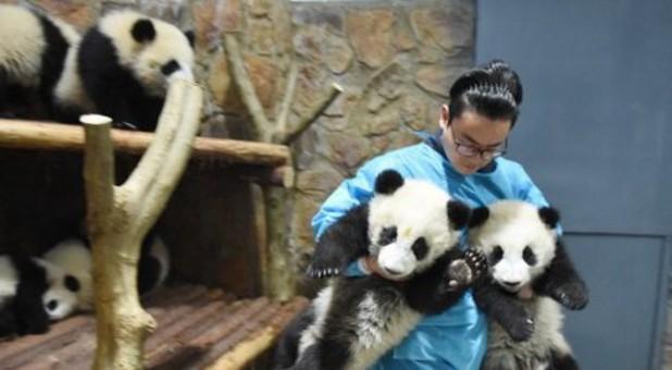 """羡慕!这个网红""""奶爸""""天天跟熊猫腻在一起"""