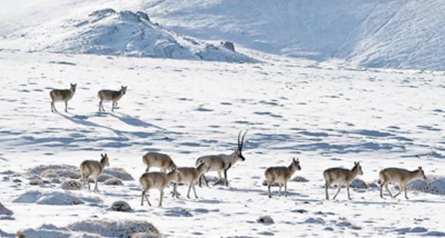 西藏羌塘藏羚羊逐年增多