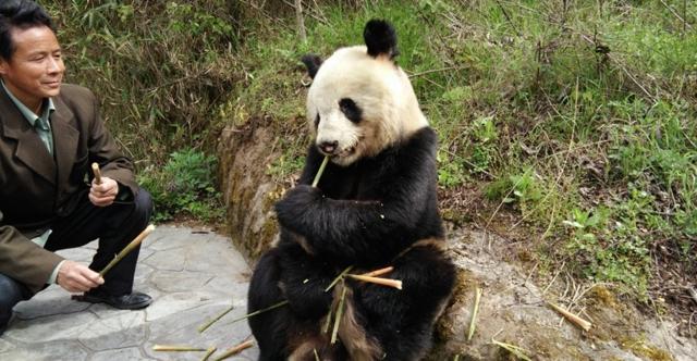 陕西景区现野生大熊猫 淡定吃竹笋任拍照