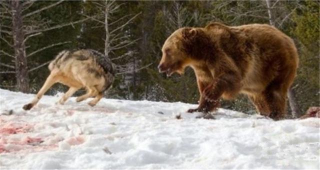 血红的牙齿和利爪 狼群为保护猎物与熊开战