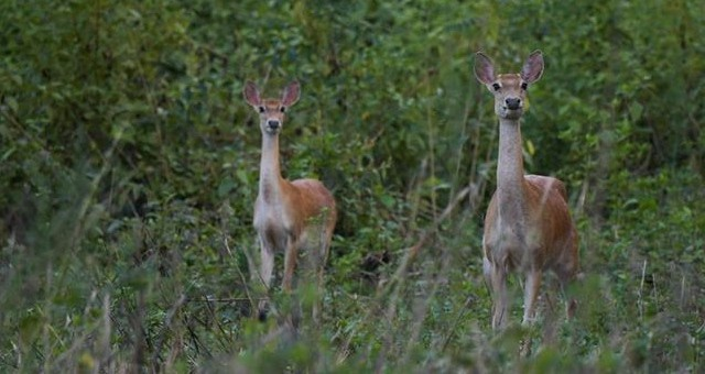 海南:生态修复保坡鹿