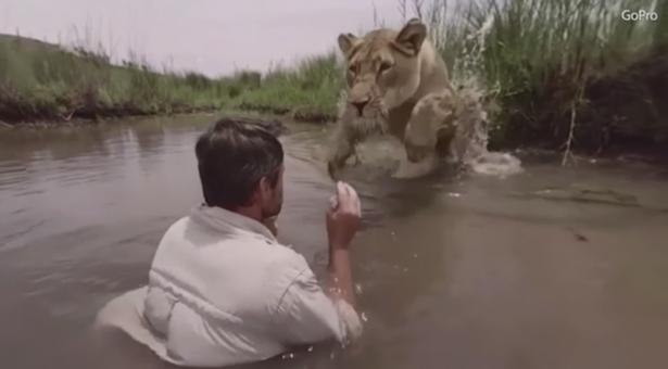 从惊险到温暖:母狮猛扑实为爱的拥抱