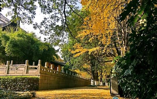 常州赏银杏正当时 红梅公园金黄落叶铺满地