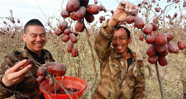 河南两兄弟新疆沙漠开荒种枣十年种大枣2万亩