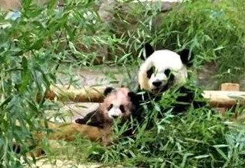 """成都旅法大熊猫""""圆梦""""在法首次亮相"""