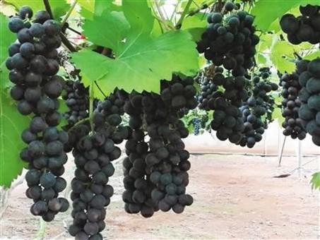 """海南热带葡萄产业""""熟了"""""""