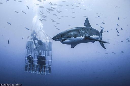 墨西哥瓜达卢佩岛 人类与鲨鱼共舞