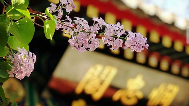 隐藏在闹市里的禅林花海 法源寺的丁香开了