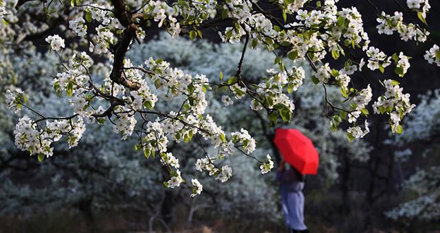 天津八仙山下梨花开