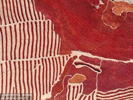 甘肃高台:辣椒丰收 晾晒场如铺红色地毯