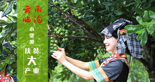 【图解】云南临沧:小坚果大产业