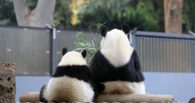"""旅日大熊猫""""香香""""户外玩耍 模仿妈妈坐姿"""