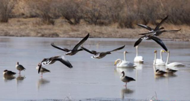 大量珍稀鸟类迁徙甘肃戈壁湿地 现别样春景