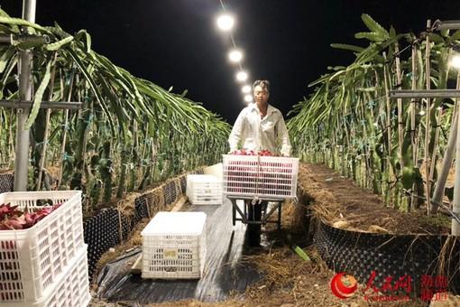"""乐东:高效农业助增收 技术产业""""两开花"""""""