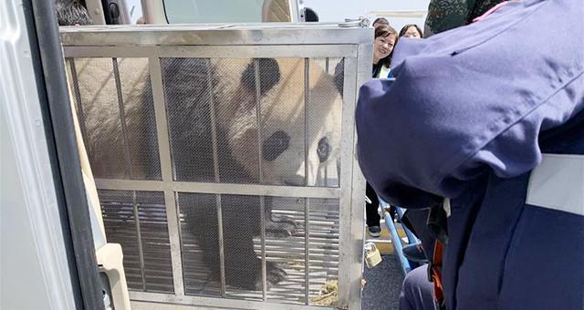 四只大熊猫齐聚青藏高原