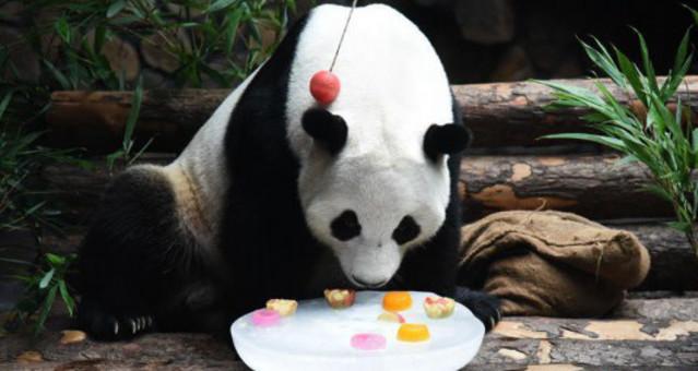 大熊猫吹空调吃冰镇水果清凉一夏