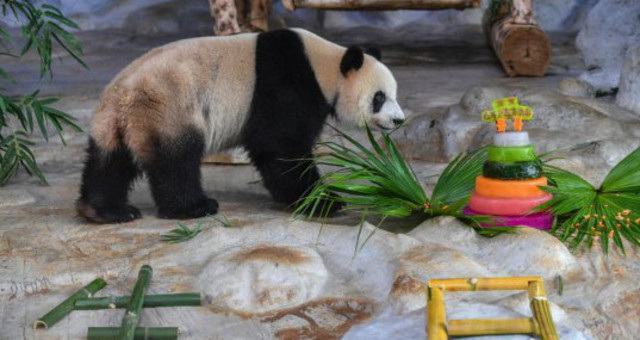"""动物园为大熊猫兄弟""""贡贡""""和""""舜舜""""庆生"""