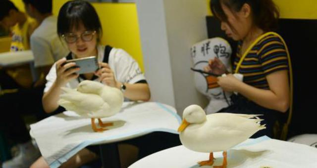 成都一咖啡馆引进小鸭子当宠物