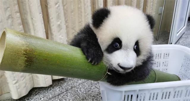 """圈粉无数!网红大熊猫""""绩笑""""被认养"""