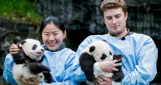 比利时新生双胞胎大熊猫宝宝亮相