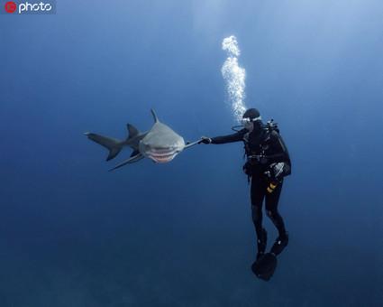与鲨共舞!潜水者与柠檬鲨水下击掌