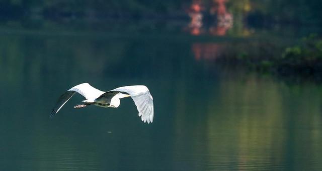 三峡库区成珍稀鸟类栖息地 各种鸟自由飞舞