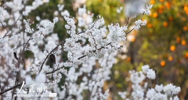 贵州纳雍:10万亩樱桃花盛开