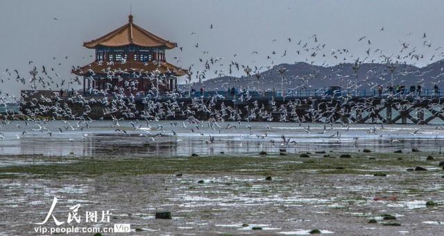 青岛:海鸥云集 人鸥相伴