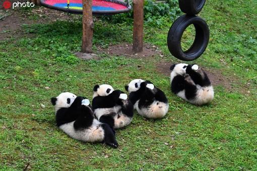 大熊猫四胞胎排排坐