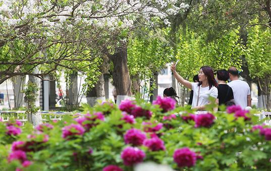 河北张家口:初夏牡丹香