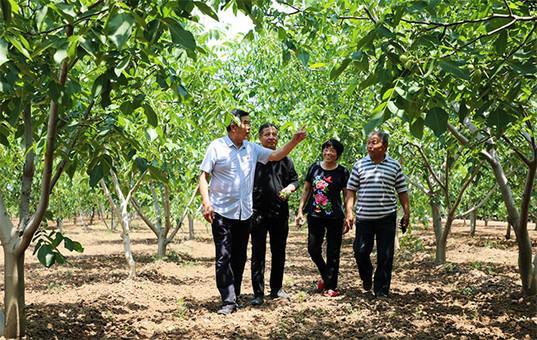 河北平乡:万亩核桃树铺平致富路