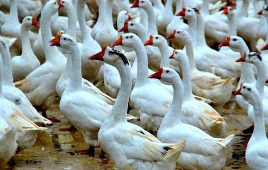 贵州锦屏:以鹅为链 串起群众脱贫新路径