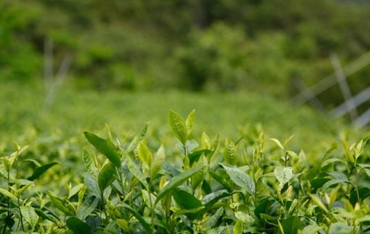 第12届贵州茶博会铜仁产销对接活动启动