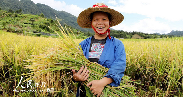广西三江:早稻丰收抢收忙