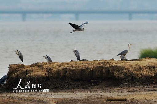 成群候鸟迁回青岛胶州湾国家级海洋公园