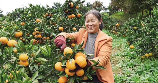 城固:政企携手促柑橘销售
