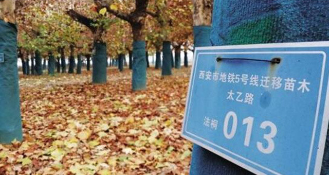 友谊路上,法国梧桐树半个多世纪的记忆