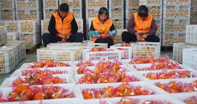 江西瑞金:脐橙进入销售旺季