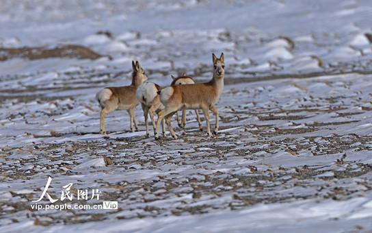 甘肃酒泉哈尔腾高原野生动物雪中觅食