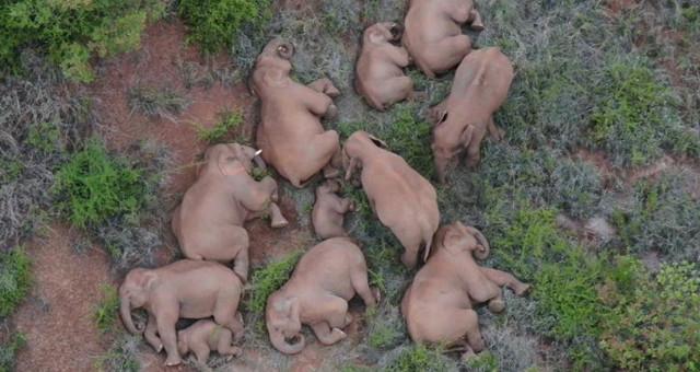 云南北移亚洲象群活动频次明显增加
