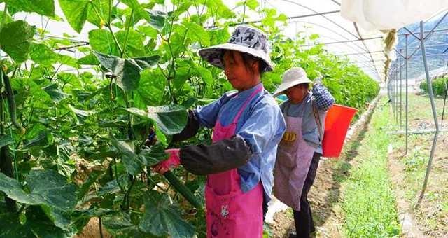 罗甸:秋冬蔬菜错季种 产业增效促增收
