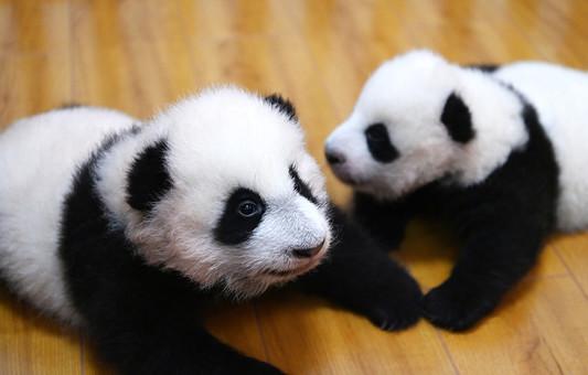 四川卧龙:探访育幼室大熊猫宝宝