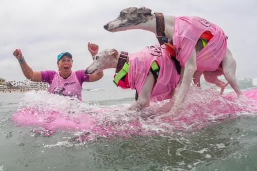 狗下海参加冲浪比赛 还分单狗双狗两项目