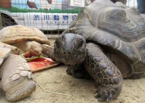 日本一米长巨龟离家出走 两周后被找回