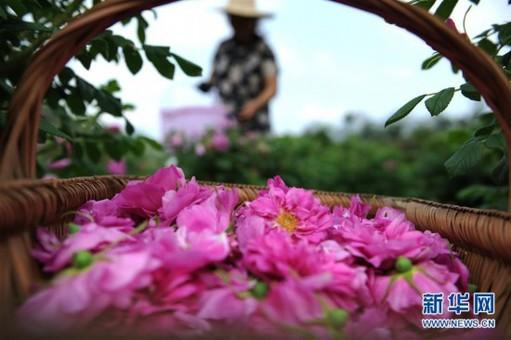"""贵州镇远:玫瑰花开出""""美丽经济"""""""