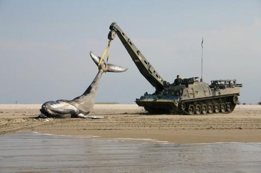 海滩上出现鲸鱼尸体 荷兰出动战斗救援车