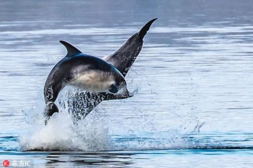 """摄影师拍两海豚在水面蹦跶 仿佛跳""""双人舞"""""""